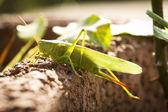 Grasshopper — Stok fotoğraf