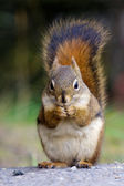American red squirrel holding nut — Stock Photo