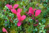 Red arctic ground willows in Denali — Photo
