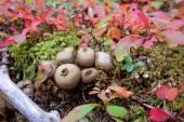 Denali ormanında ponponlar — Stok fotoğraf