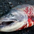 Dead silver salmon with blood laying on ground in close-up — Stock Photo #56529457