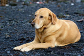 Golden labrador retriever laying on gravel bar in Seward — Stock Photo