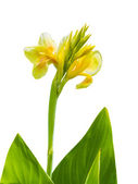 Yellow canna flower — Stock Photo