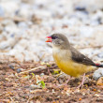Lovely bird Avadavat(Amandava amandava) on the branch in nature — Stock Photo #53254915