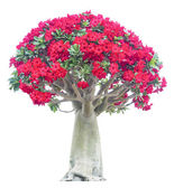 Adenium obesum tree — Stock Photo