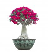 Adenium obesum tree also known as Desert Rose — Stock Photo