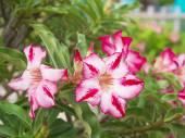 Adenium obesum tree also known as Desert Rose,  — Stock Photo