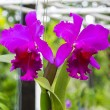 Magenta orchid flowers — Stock Photo #53279873