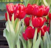 Fiori di tulipano sul giardinaggio — Foto Stock