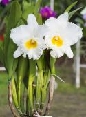 White orchid on farm — Stock Photo