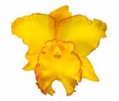Yellow cattleya orchid flower — Stock Photo