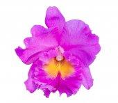 Orquídeas phalaenopsis en blanco — Foto de Stock