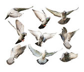 Different actions of flying pigeon — Stock Photo