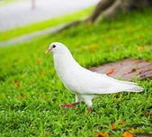 Pigeons standing on the grass  — Stock Photo