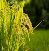 Rice in the farm — Stock Photo