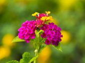 Weeping Lantana, White Sage, Cloth of gold — Stock Photo