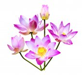 Magenta lotus flowers isolated  — Stock Photo