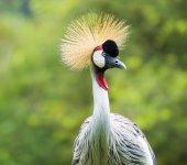 Beautiful Grey Crowned Crane bird — Zdjęcie stockowe