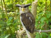 Portrait of Horned Owl looking at the camera, — Stock Photo