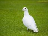 White pigeon bird standing on green grass — Stock Photo