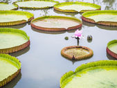 Victoria waterlily on the pond — Stock Photo