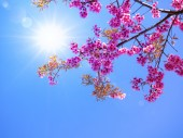 Pink cherry blossom on blue sky  — Stock Photo