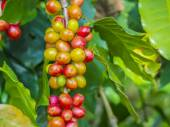 Red coffee beans on a branch of coffee tree, ripe and unripe ber — Stock Photo