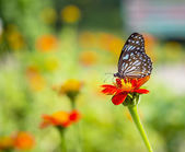 (The Scarce Blue Tiger) Beautiful butterfly on flower in nature — Stock Photo