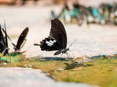 Closeup Black and white Butterfly (helen butterfly) — Stockfoto