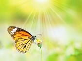 Beautiful Common Tiger butterfly on a flower — Stock Photo