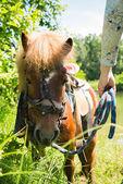 Pony horse — Stock Photo