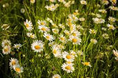 Beautiful camomiles in grass — Stock Photo