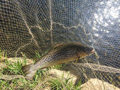 Big trout in the nets — Stock Photo