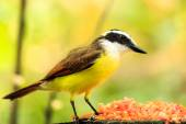 Portrait of Great Kiskadee bird — Stock Photo