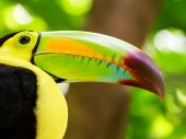 Portrait of Keel-billed Toucan bird — Stock Photo