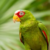 Portrait of White-fronted Parrot — Stock Photo