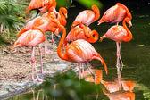 Portrait of American Flamingos — Stock Photo
