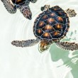 Cute endangered baby turtles — Stock Photo #52834051