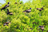 Juvenile Frigate birds — Stock Photo