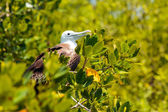 Juvenile Frigate bird — Stock Photo