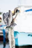 Brown Pelican on mexican Mujeres island — Stock Photo