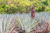 Field of blue agave — Stock Photo