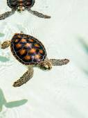 Cute endangered baby turtles — Stock Photo