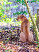 Puma portrait — Stock Photo