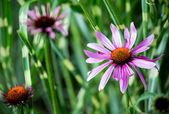 Echinacea flower — Stock Photo
