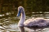 Baby swan — Stock Photo