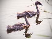 Baby swans — Stock Photo