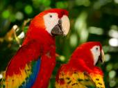 Portrait of colorful Scarlet Macaw parrots — Stock Photo