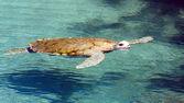 Big sea turtle — Stock Photo