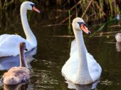 Young cygnet with its parents — Stock Photo